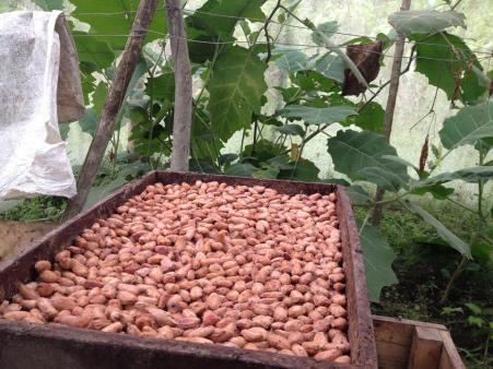 Cacao beans fermenting